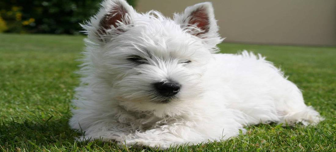 Westie breed image