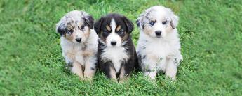 Australian shepherd puppies1.psdfull %281%29
