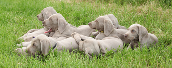 Weim cover