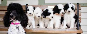 Sheepadoodle puppies
