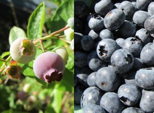 why are blueberries so good for you