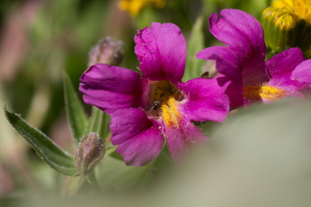 Closeup of a Pink Monkeyflower.
