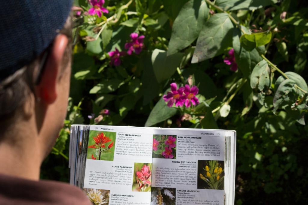 Identifying a Pink Monkeyflower.