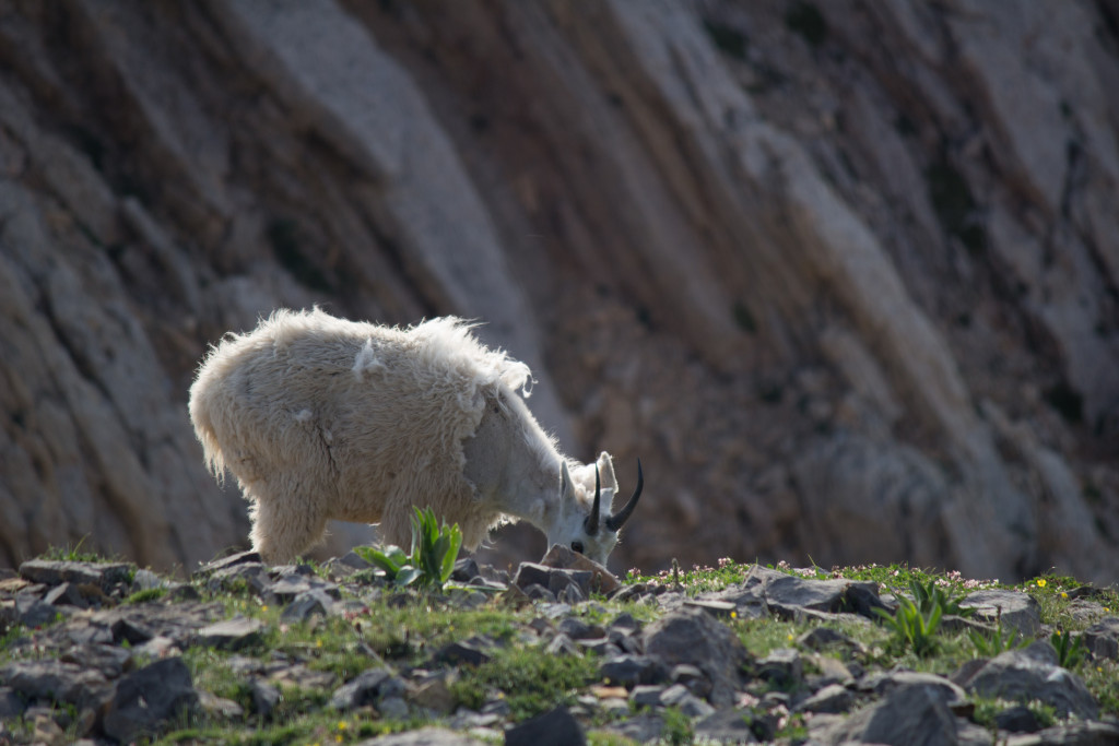 A mountain goat munchin' on some grass.