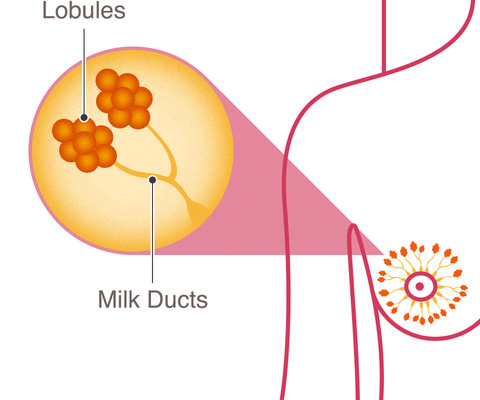 breast cancer anatomy lobes lobules milk ducts