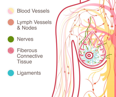 breast cancer anatomy lymph system