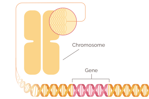 BRCA: The Breast Cancer Gene