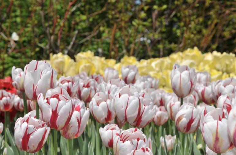 Tulipe Canada 150