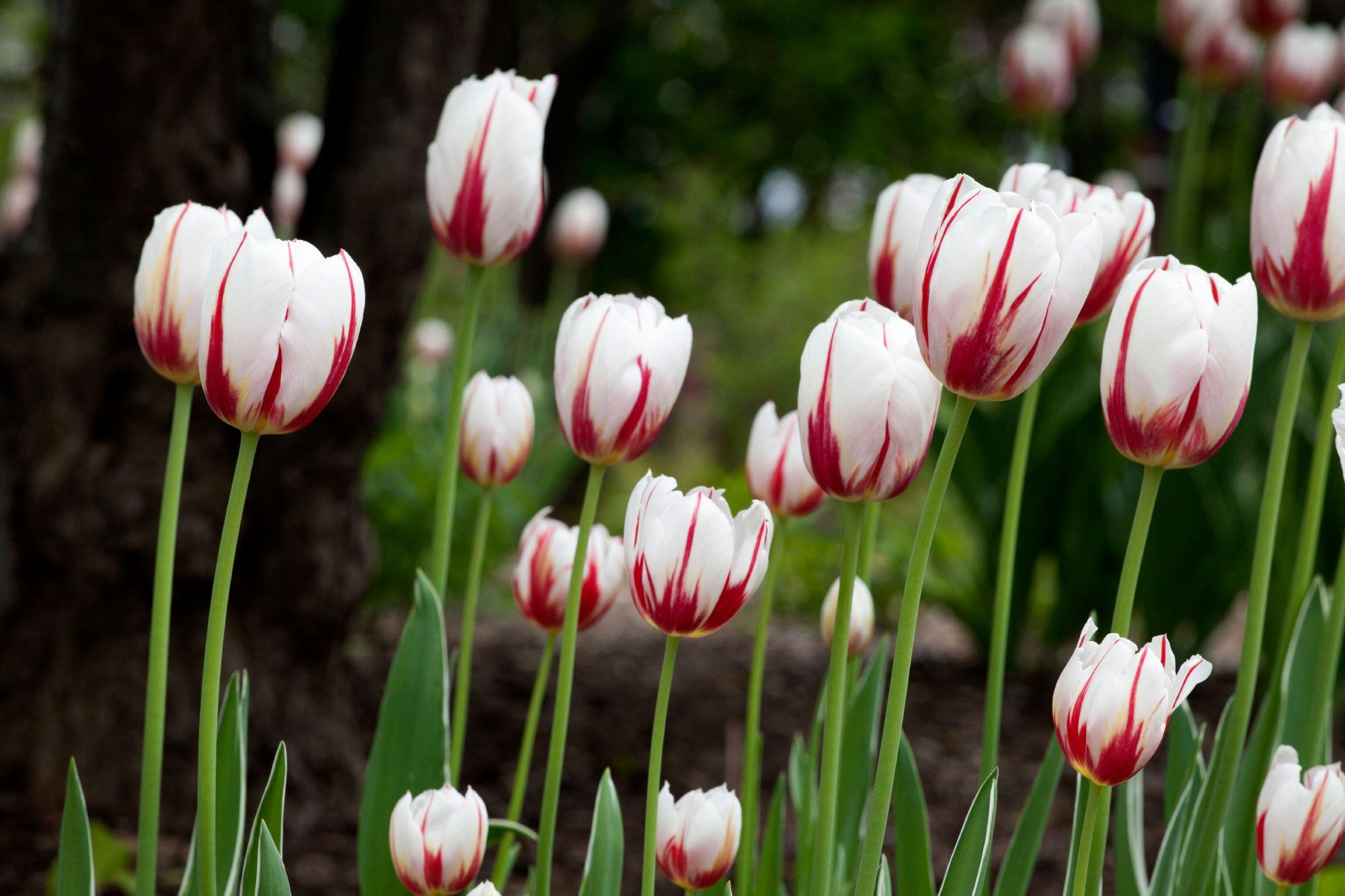 Introduction of a unique tulip species for Canada's 150th anniversary