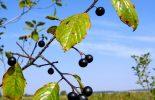 Glossy buckthorn (Frangula alnus)