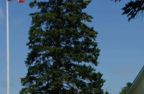 white spruce - Photo credit: Suzanne Hardy