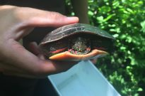 A happy and healthy painted turtle.