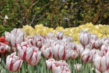 La tulipe Canada 150 : une tâche accomplie pour le plaisir et la fierté nationale