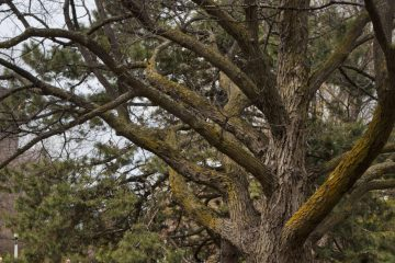 150 remarkable trees in the National Capital Region