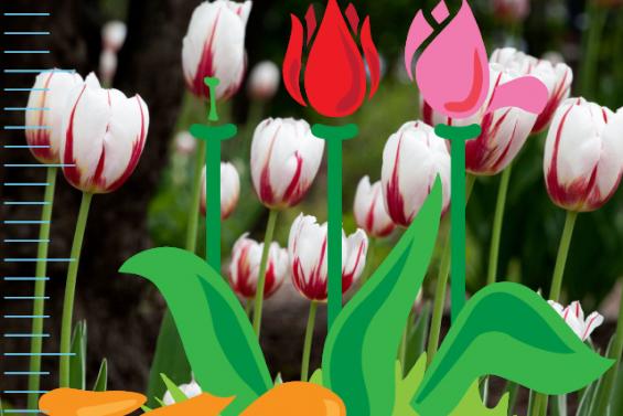 Les tulipes dans la capitale
