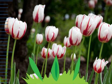 Indicateur de floraison des tulipes