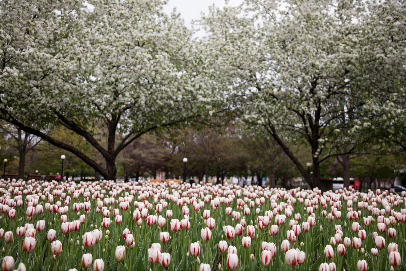 Tulip planting season is here | National Capital Commission