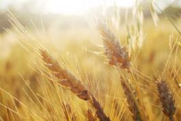 Wheat and Weeds: Matthew 13:24-30