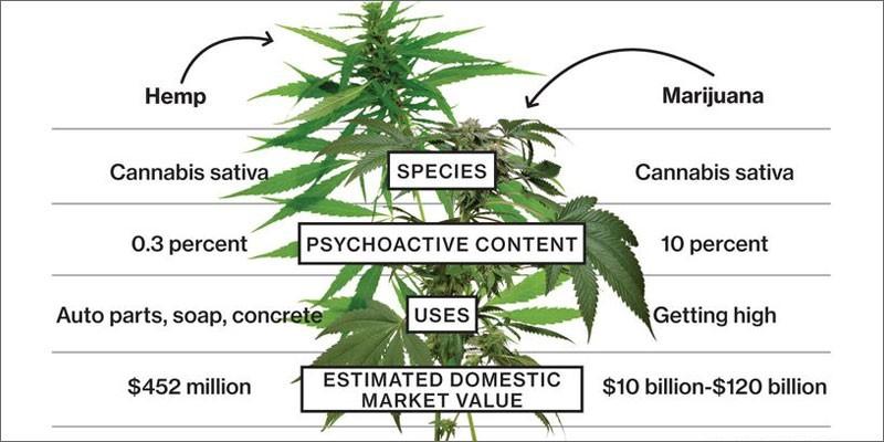 hemp-plant