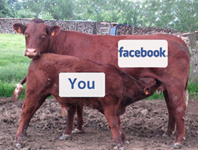 Calf-cow-facebook-doc-searls-198x150_column