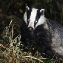 Ahead-badger-cull-theslaughterhasbegun-0019506