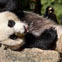 Healthi-nation-panda-zoo-0132619