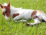 Sleeping miniature foal