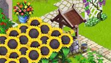 Sunflowers in Family Farm