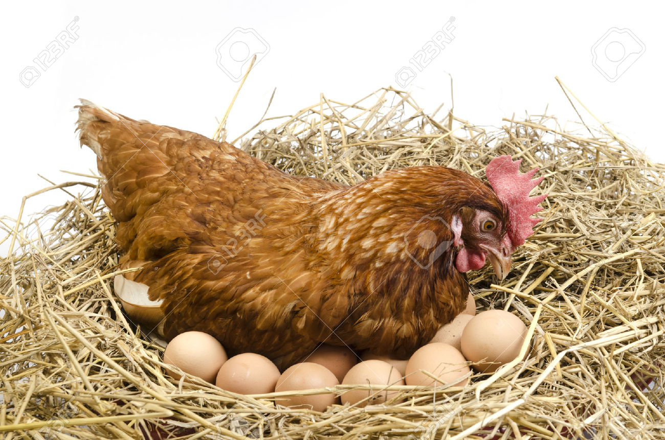 Как сделать гнездо чтобы курицы не ели яйца