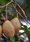 Baru fruto