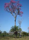 Ipe rosa   leandro (2)