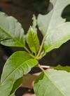 Cebol%c3%a3o   mariana (4)