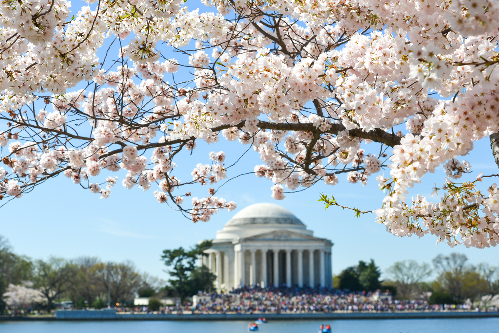 Jefferson Memorial Washington DC Cherry Blossoms