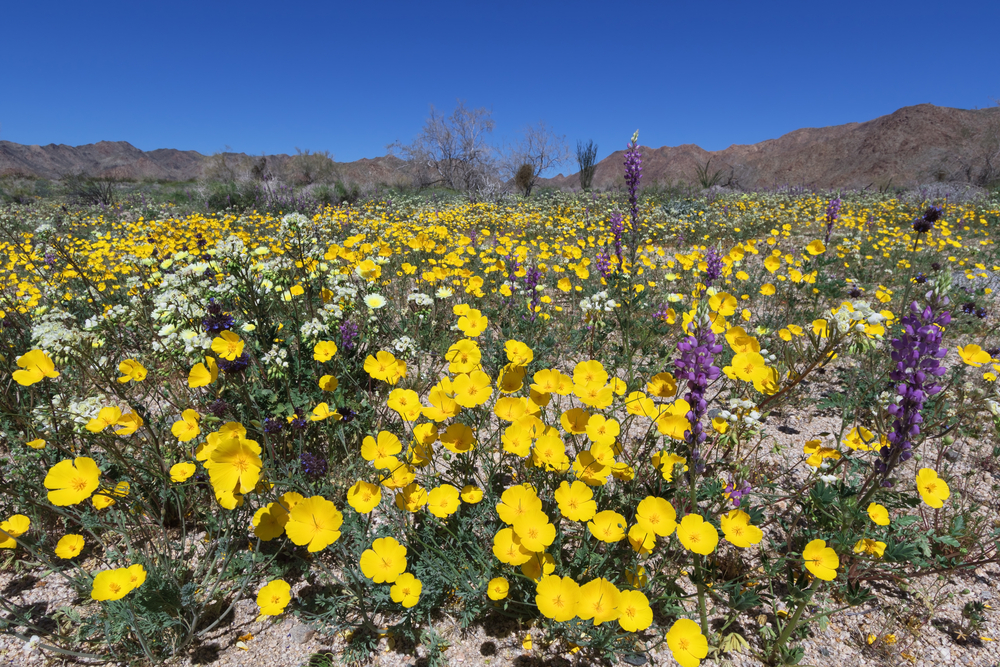 Wildflowers in Joshua Tree National Park