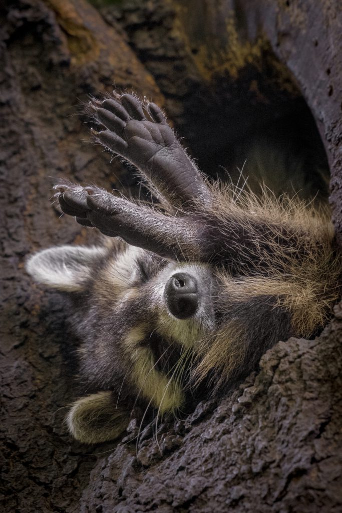 Raccoon in a tree | World Photo Day Contest Runner Up