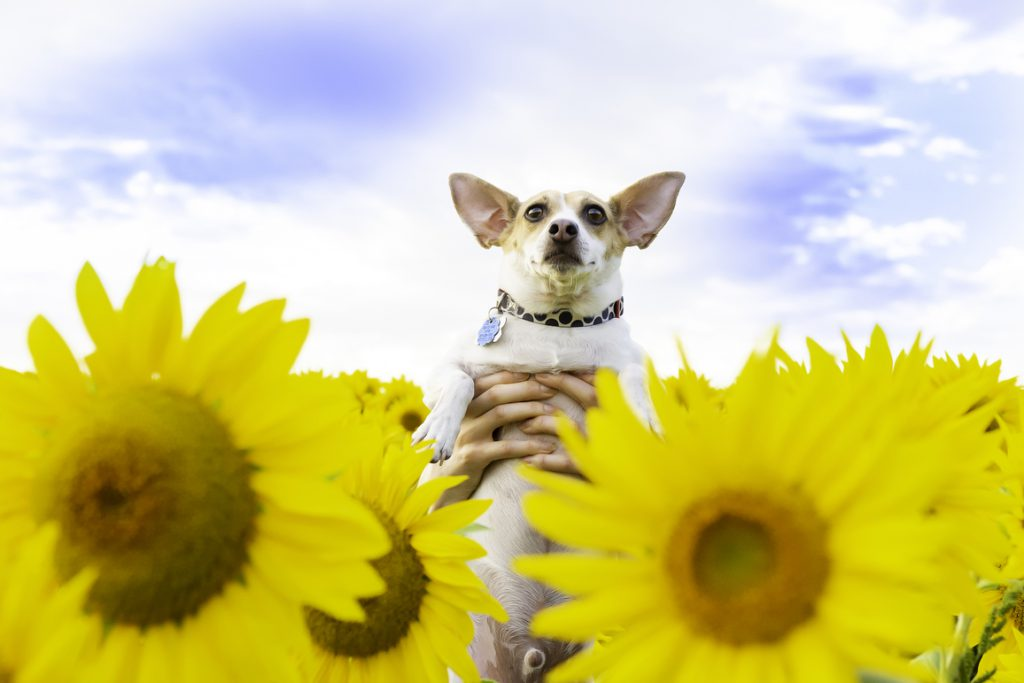 dog in flower field