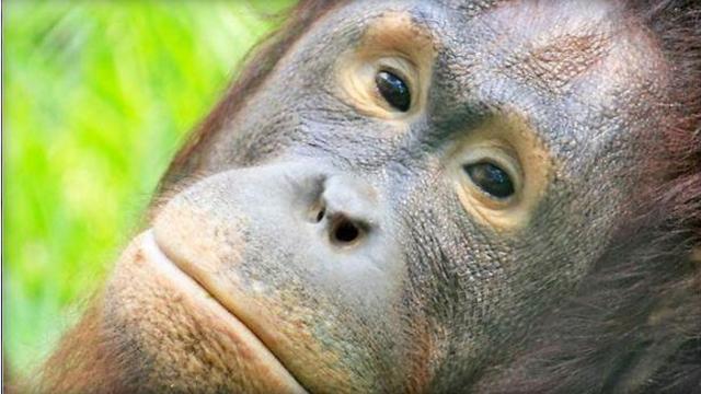 Zoo sets up gift registry for pregnant orangutan