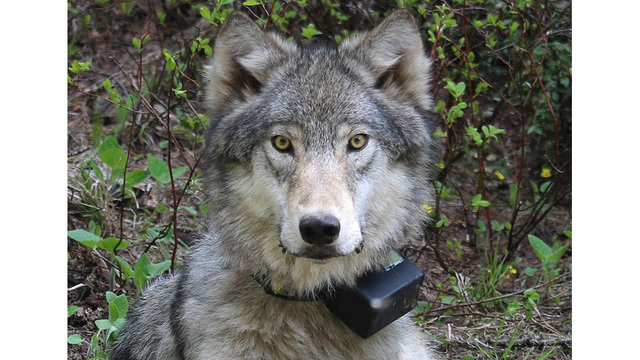 Oregon delays vote on wolf plan that could lead to hunting