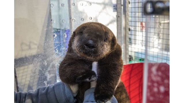 Orphaned sea otter pup prepping for Oregon Zoo debut