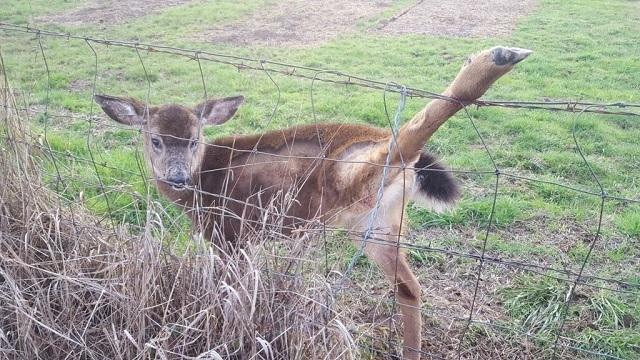 Trooper rescues deer entangled in fence near Bald Peak