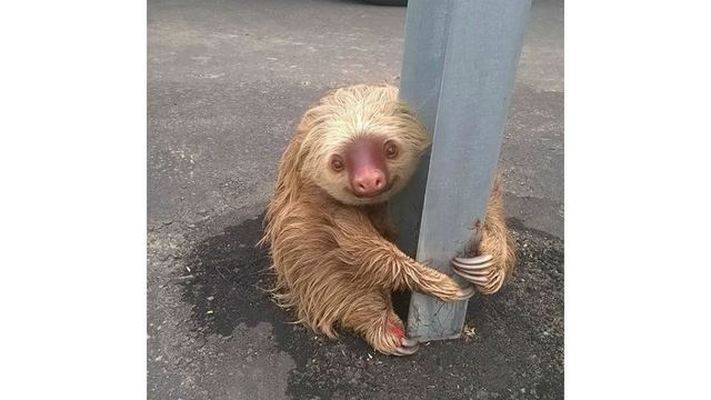 Adorable smiling sloth rescued from highway