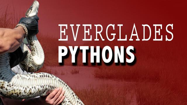 Snake fan hunts pythons in Florida to save other critters