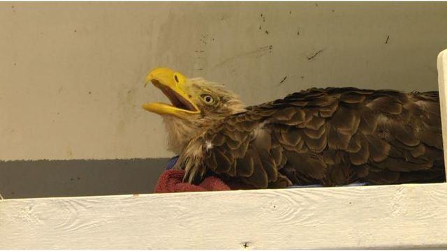 American Bald Eagle rescued by Good Samaritan dies