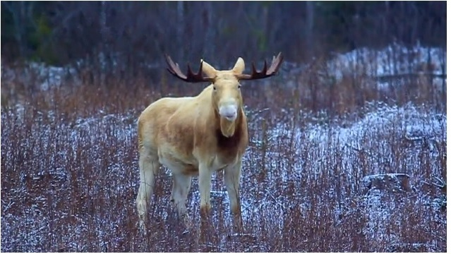 Rare white moose who became viral sensation could be killed