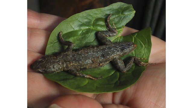 ME woman finds 3-inch lizard in bagged lettuce