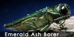 emeraldashborer_252_126