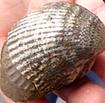 Fossilthumbnail
