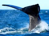 Whalewatchingthumbnail