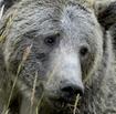 Grizzlybearthumbnail