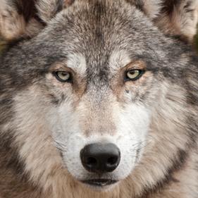 Wolfheaderimage